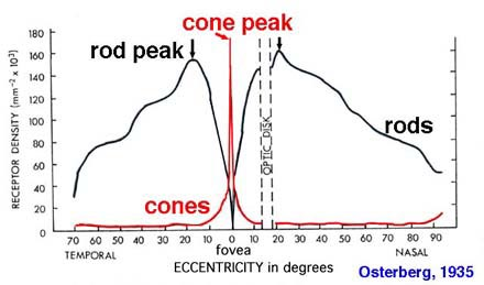 graph showing the number of rods & cones per square mm  the peak number of  cones occurs in the fovea, where it reaches approximately 150,000 cones /mm^2