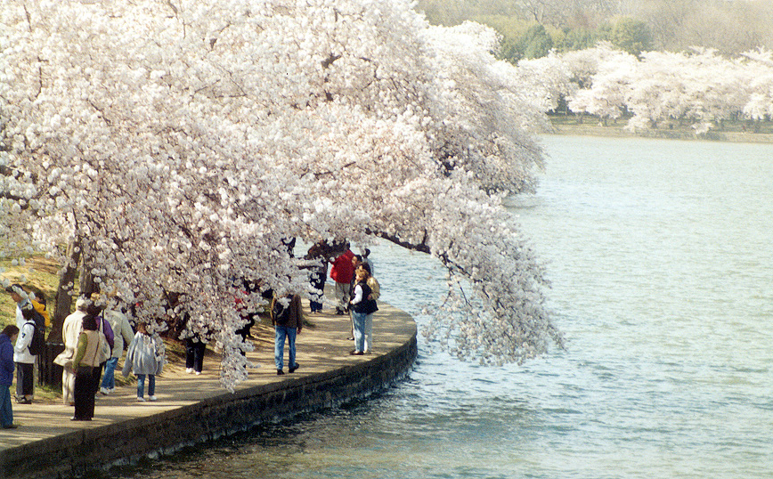 National Cherry Blossom Festival - Must See! - Tidal Basin, US